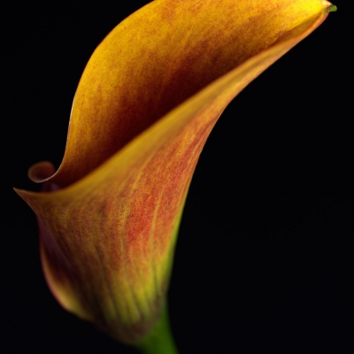 still life image of flower on black background for AIG