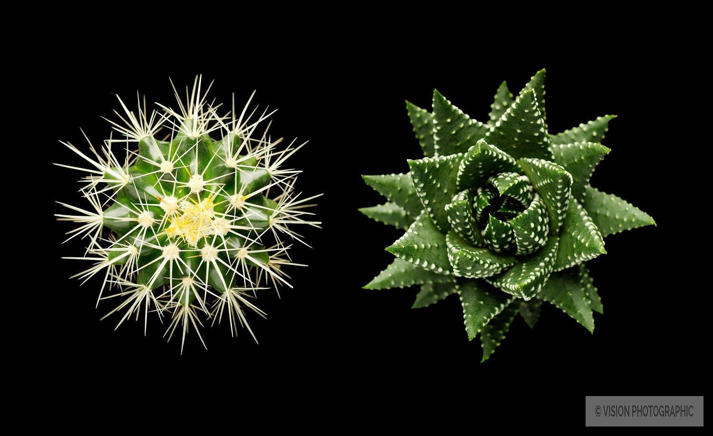 still life image of cacti