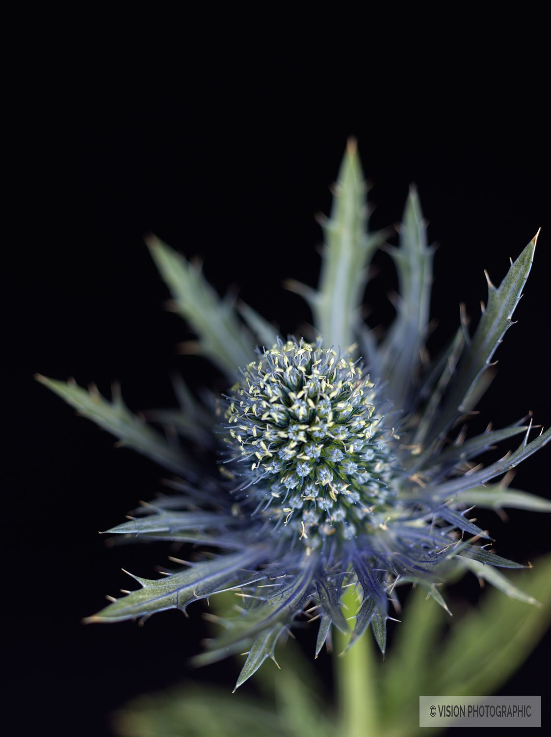 still life photo of thistle on black background