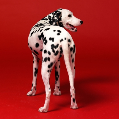 Advertising photography featuring dalmatian dog