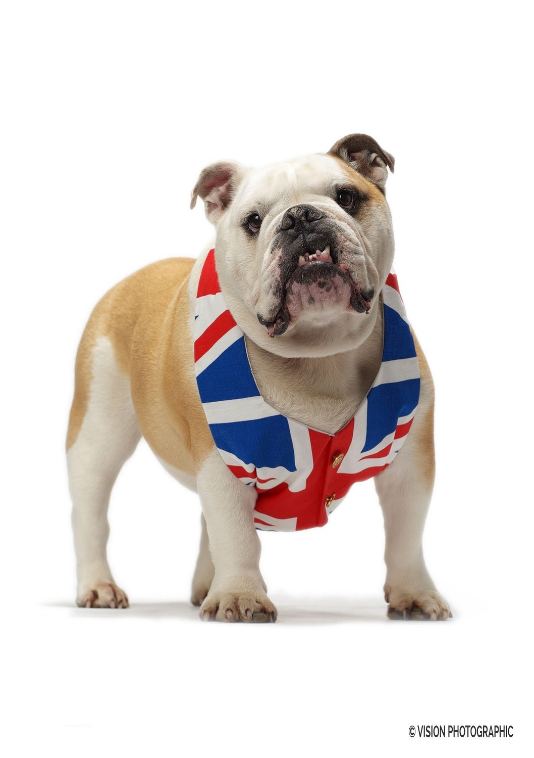 Advertising photography of British bulldog for Sunseeker